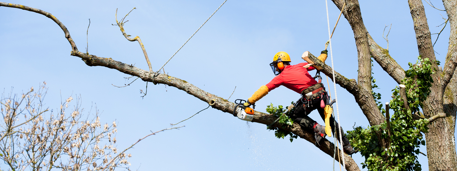 surrey tree topping surgeon arborlife